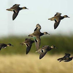 green_winged_teal
